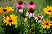 stock photo of black-eyed susans  - These are golden black - JPG