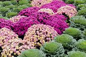foto of chrysanthemum  - Rows of chrysanthemum and kale plants in display garden - JPG