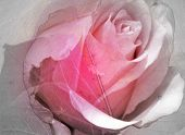 stock photo of pink rose  - a blending of transparent leaves and a rose - JPG