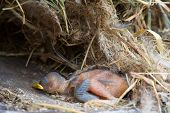pic of baby chick  - Dead chick in forest - JPG