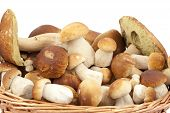 stock photo of boletus edulis  - big and little boletus  - JPG