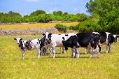 image of moo-cow  - Menorca Friesian cow cattle grazing in green meadow at Balearic Islands of Spain - JPG