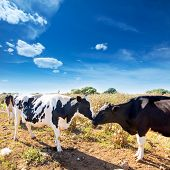 foto of moo-cow  - Friesian cows kissing each other in Menorca Balearic Islands - JPG