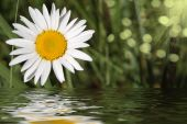 Camomile On A Green Background And Its Reflexion In Water
