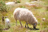 stock photo of spring lambs  - Mother sheep and baby lamb grazing in Menorca field - JPG