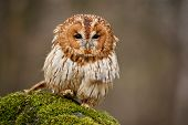 stock photo of nocturnal animal  - Tawny Owl Sitting on Green Spot in Daylight - JPG