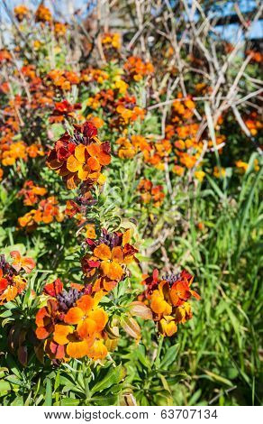 Colorful Flowering Wallflower Plants In Springtime