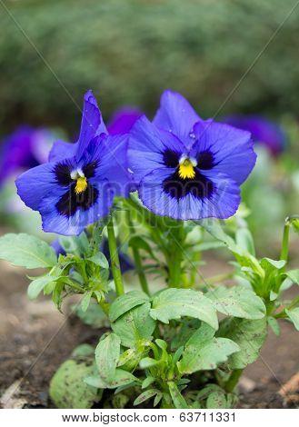 Blue Tricolor Viola