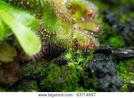 Drosera Aliciae Seeds 2