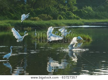 egret play in water land