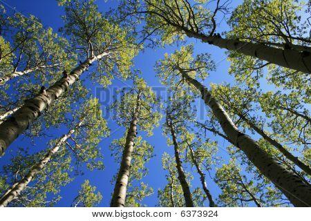 Aspen Tree Tops