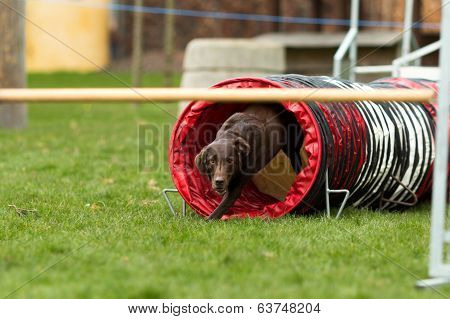 Brown Labrador At Agility Course