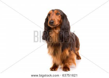 Teckel (dachshund)