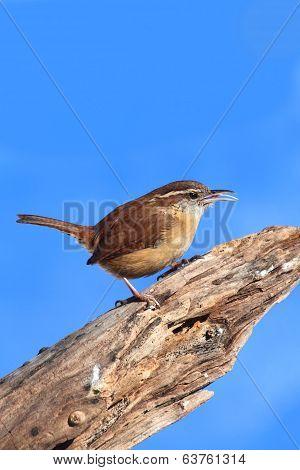 Carolina Wren On A Stump