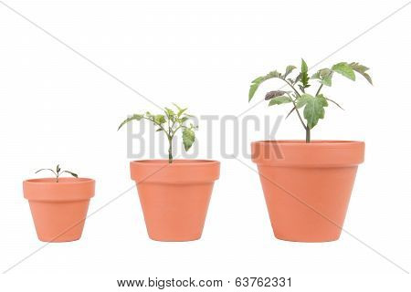 Terracotta Planters With Tomato Plants