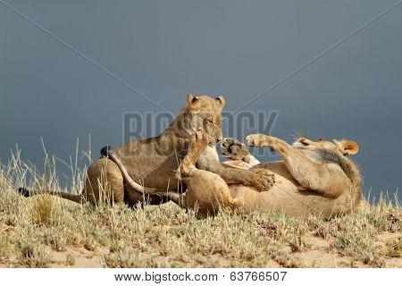 Playful young African lions (Panthera leo), Kalahari desert, South Africa