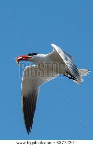 A Caspian Tern In Flight With A Fish