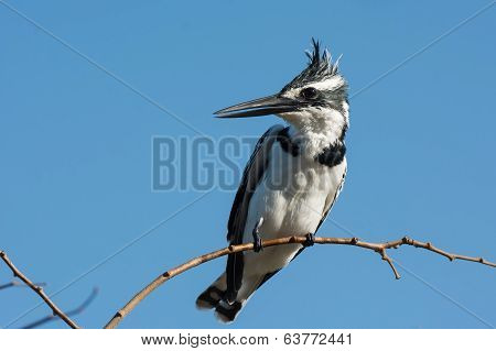 A Female Pied Kingfisher (ceryle Rudis) On A Slender Branch