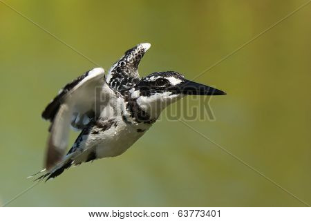 Dripping Wet Pied Kingfisher In Flight