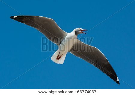 Grey-headed Gull Calling Out While In Flight