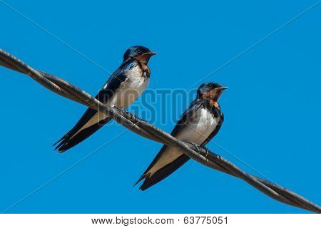 Two Red-chested Swallows Perched On A Wire