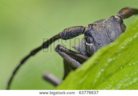 macro with Weaver beetle (Lamia textor)