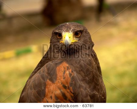Front Eagle