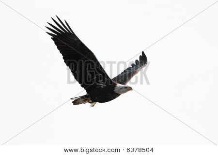 Isolated Bald Eagle Carrying A Fish