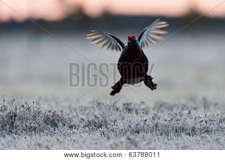 Black Grouse Flying