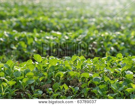 Field sown young seedlings of cabbage.