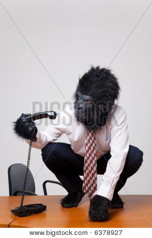 Gorilla On A Desk Picking Up The Phone.