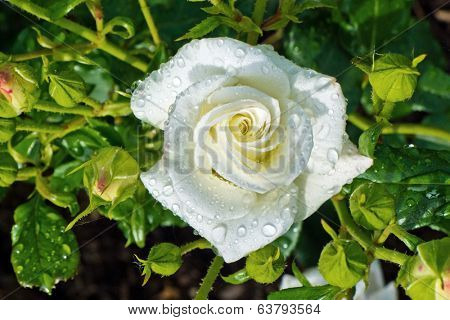 a white, blooming rose on a large shrub in a garden