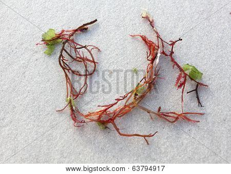 Sprigs Of Red Seaweed On White Sand