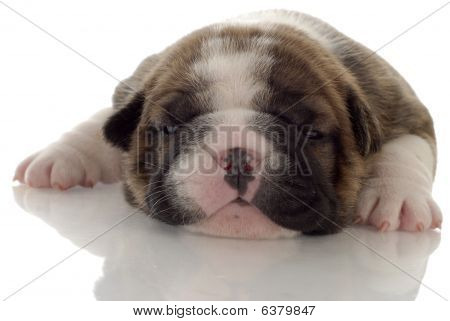 Bulldog Puppy 3 Week Old Brindle