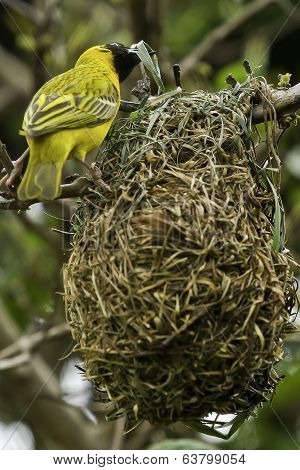Weaver Bird Building A Nest