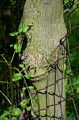 stock photo of pain-tree  - Young tree grew through the wire fence - JPG
