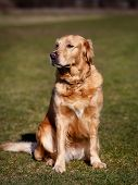 Purebred Dog Looking Away From Camera poster