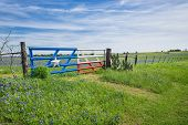 stock photo of bluebonnets  - Bluebonnet field and a fence with gate along roadside in Texas spring - JPG