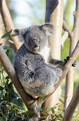 image of herbivorous  - A cute adorable adult koala bear sitting on a tree grasping a branch with its claws - JPG