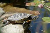 foto of turtle shell  - Turtle on a stone in a pond - JPG