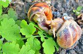 image of hermaphrodite  - love snails in spring time - JPG