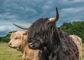 picture of highland-cattle  - A Photograph Of Highland Longhorn Cattle In A Field