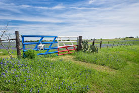 foto of bluebonnets  - Bluebonnet field and a fence with gate along roadside in Texas spring - JPG