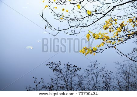 Autumnal Yellow Leaves On Coastal Tree Branches