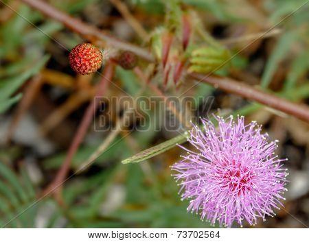 Mimosa Pudica Flower,sensitive Plant.