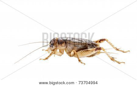 Cricket (gryllus)  On White Background,brachytrupes Portentosus.