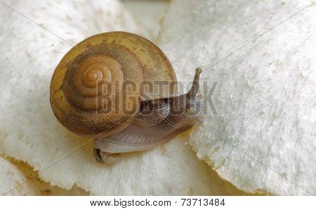 Snail Crawling On White Mushroom.