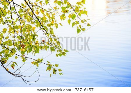 Birch Leaves And Water Reflection