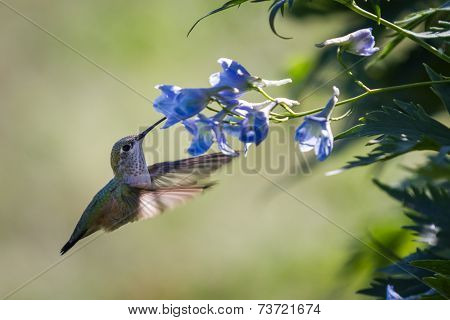 Hummingbird In Flowers