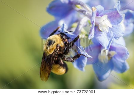 Bumblebee In A Flower